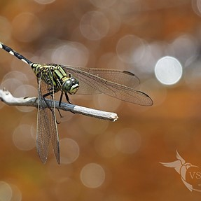 Dragonflies (E-M1 + 300 f4)