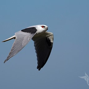 Black-shouldered Kites...adults this time