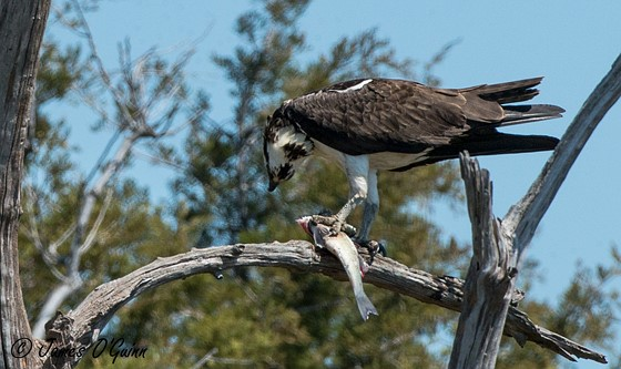 Osprey with fish tree swallows nature and wildlife for Fish in a tree summary
