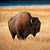 Tourist gored by bison in Yellowstone after allegedly getting within 10 feet for a photo