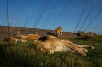 National Geographic drones help capture Serengeti wildlife close up