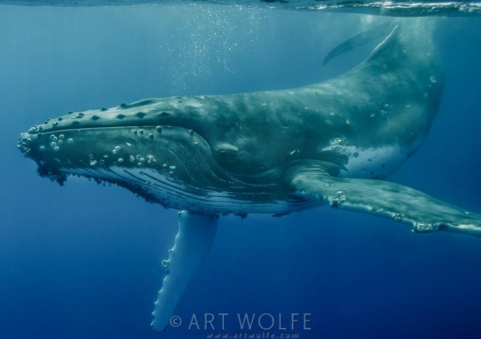 Swimming with the Humpbacks, Tonga, 2013