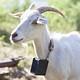 Lens_Goat
