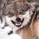 english_Wolf