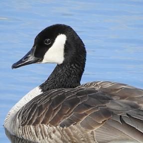 P900 goose.
