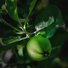 part of the 2016 apple crop  C &C please