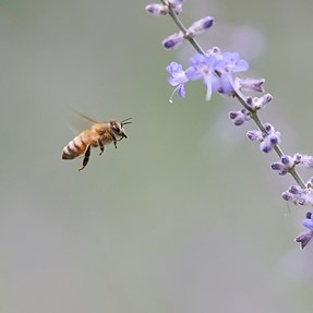 Close up bee in flight