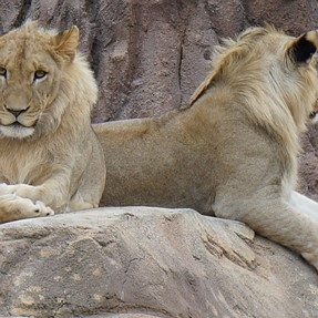 Is this a male or female lion? (the one with the grin)