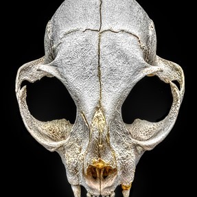 Cat's skull