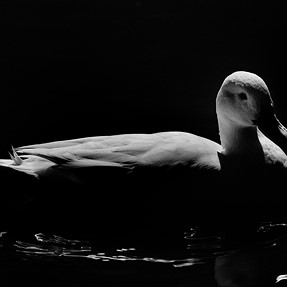 An Egret and a Duck