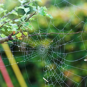 Autumn cobwebs in my misty early morning garden
