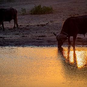 Buffalo Sundowner