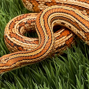 Corn Snake Photoshoot with 24mm Zeiss and 30mm Macro