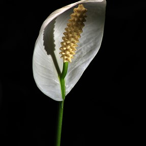 Peace Lily .