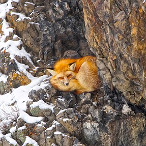 Red Fox in YNP