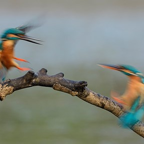 Some funny Kingfisher images....