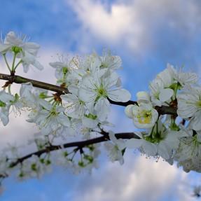 x30 fruit blossom..