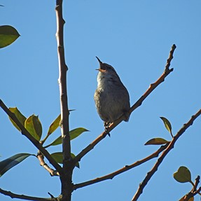 Small bird with a big voice