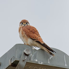 Cute little Kestrel