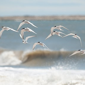 Terns by the sea