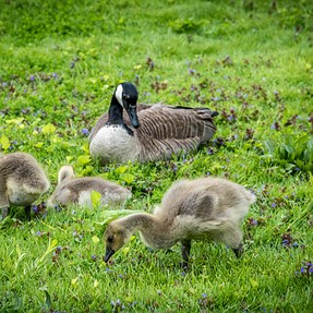 Geese and Baby for play