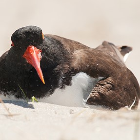 Oystercatcher on nest