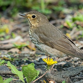 Migrating Swainson's Thrush