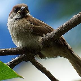 FinePix S1 - Beautiful Sparrow