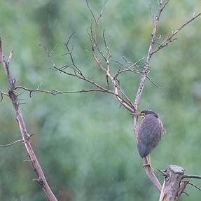 Green Heron Encounter