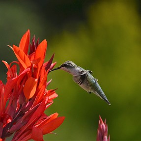 Trying to get sharper images, Hummingbirds Help