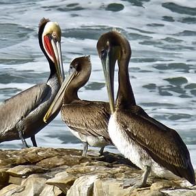 Pelicans and more pelicans