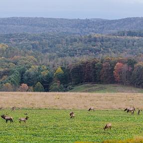 PA Elk Rut