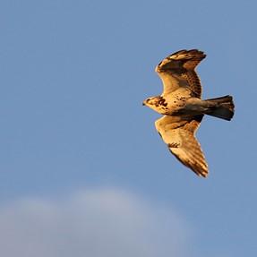 More confusing hawk ID
