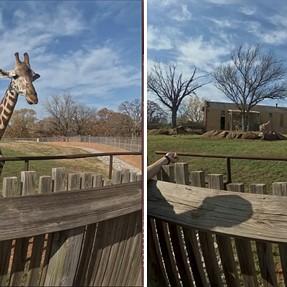 4K 60p - Giraffes - cross-eye pictures included