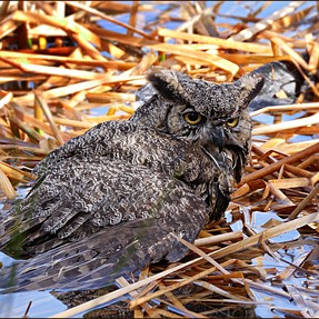 Great Horned Owl trapped in a lake