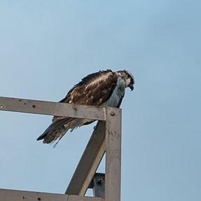 Help identifying large bird