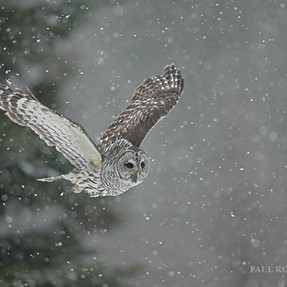 Barred Owl Snow Flight