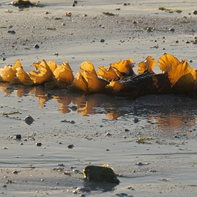 Seaweeds at the sunset