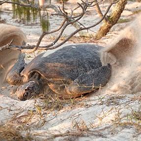 Nesting turtles.