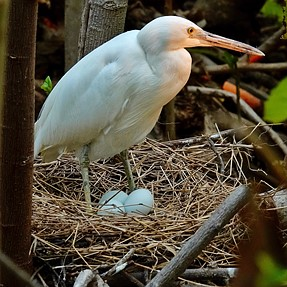 Day old Egret chick
