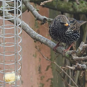 Some birds visiting to the backyard, p1000