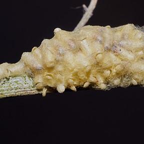 emerging wasps