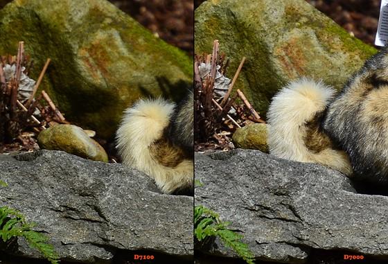 D7000 vs D7100 - D7100 grainy background: Nikon DX SLR ...