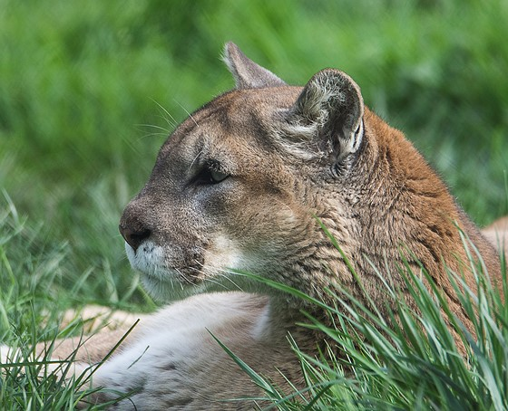 With Human Populations Expanding The Room For Cougars Is Shrinking Without Strict Wildlife Protection And Control Through Hunting If Need Be