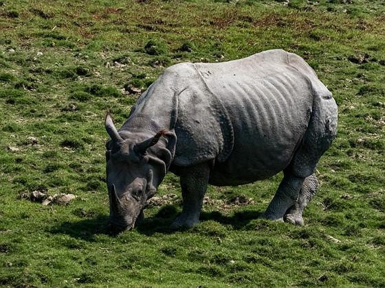 Greater One - Horned Rhinoceros